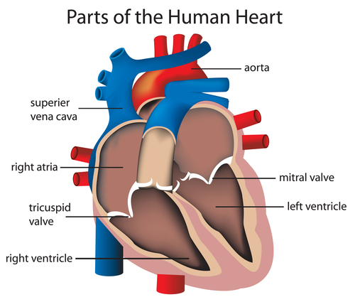 facts about the heart